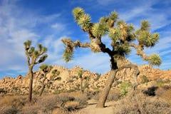 Aménagez en parc avec des arbres de Joshua, Joshua Tree National Park, Etats-Unis Photographie stock libre de droits