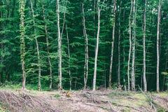 Aménagez en parc avec des clairières et des rangées ordonnées des arbres dans une forêt dense photos stock