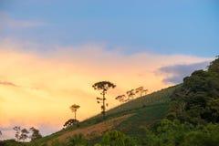 Aménagez en parc avec l'arbre et le coucher du soleil d'araucaria comme fond Photo libre de droits