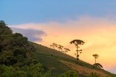Aménagez en parc avec l'arbre et le coucher du soleil d'araucaria comme fond Photographie stock libre de droits