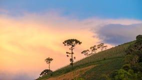 Aménagez en parc avec l'arbre et le coucher du soleil d'araucaria comme fond Image libre de droits