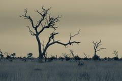 Aménagez en parc avec l'arbre mort en conver artistique de parc national de Kruger Photographie stock libre de droits