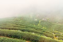 Aménagez la vue en parc à la plantation de thé 2000 pendant le matin sur un brumeux Image stock