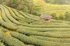 Aménagez la vue en parc à la plantation de thé 2000 pendant le matin sur un brumeux Photos libres de droits