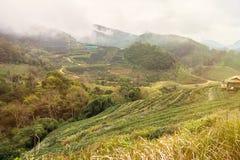 Aménagez la vue en parc à la plantation de thé 2000 pendant le matin sur un brumeux Photos stock