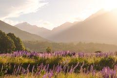 Aménagez la vue en parc de la gamme de montagne avec les fleurs de loup au coucher du soleil Photos libres de droits