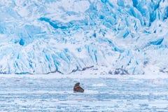 Aménagez le morse en parc de nature sur une banquise de jour arctique de soleil d'hiver du Spitzberg Longyearbyen le Svalbard image stock