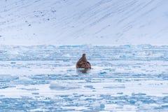 Aménagez le morse en parc de nature sur une banquise de jour arctique de soleil d'hiver du Spitzberg Longyearbyen le Svalbard photo stock