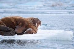 Aménagez le morse en parc de nature sur une banquise de jour arctique de soleil d'hiver du Spitzberg Longyearbyen le Svalbard image libre de droits