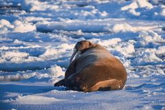 Aménagez le morse en parc de nature sur une banquise de jour arctique de soleil d'hiver du Spitzberg Longyearbyen le Svalbard photos stock