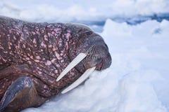 Aménagez le morse en parc de nature sur une banquise de jour arctique de soleil d'hiver du Spitzberg Longyearbyen le Svalbard images stock