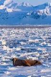 Aménagez le morse en parc de nature sur une banquise de jour arctique de soleil d'hiver du Spitzberg Longyearbyen le Svalbard photographie stock