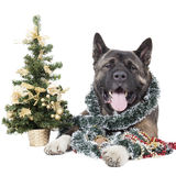 Américain Akita avec un arbre de Noël Images libres de droits