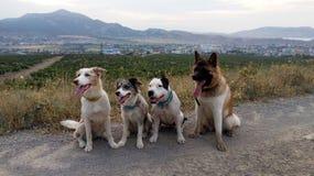 Américain Akita border collie le Staffordshire Terrier images libres de droits