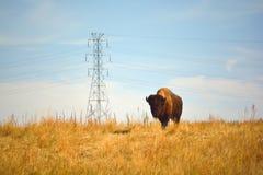 Américain Bison Buffalo sur une conserve urbaine de faune Image libre de droits