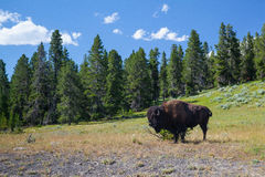 Américain Bizon en parc national de Yellowstone Photographie stock libre de droits