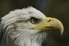 Américain Eagle Portrait Images stock