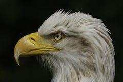 Américain Eagle Portrait Image libre de droits