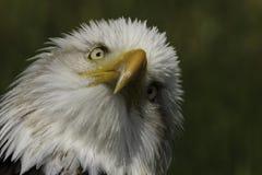 Américain Eagle Portrait Photo libre de droits