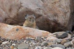 Américain Pika - Jasper National Park Photographie stock