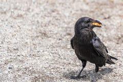 Américain Raven, Raven commun photographie stock libre de droits