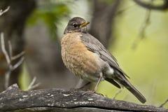Américain Robin Image stock