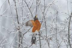 Américain Robin image libre de droits