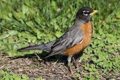 Américain Robin dans l'herbe Image stock