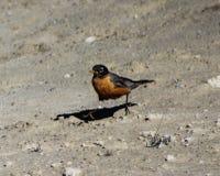 Américain Robin, parc national de Yellowstone Photos libres de droits