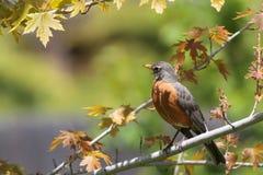 Américain Robin Sitting On une branche d'arbre Photo libre de droits