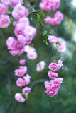 Amêndoa de florescência Foto de Stock