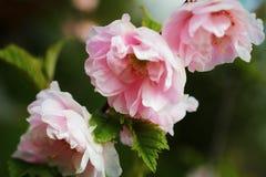 Amêndoa de florescência Fotografia de Stock