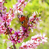 Amêndoa de florescência do estepe do arbusto (latim do tenella do Prunus) com flores cor-de-rosa Imagem de Stock Royalty Free