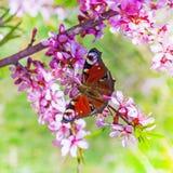 Amêndoa de florescência do estepe do arbusto (latim do tenella do Prunus) com flores cor-de-rosa Fotografia de Stock Royalty Free