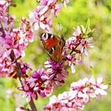 Amêndoa de florescência do estepe do arbusto (latim do tenella do Prunus) com flores cor-de-rosa Fotografia de Stock