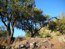 Amêndoa e oliveiras Fotografia de Stock Royalty Free