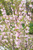 amêndoa Flor na primavera, flores cor-de-rosa Imagens de Stock Royalty Free