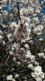 Amêndoa florido Detalhes primeiramente de florescência imagem de stock