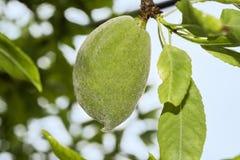 Amêndoa na árvore, cultivo fotos de stock