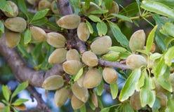 Amêndoas que amadurecem na árvore Fotografia de Stock Royalty Free