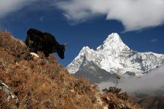 ama dablam okładzinowi yak zdjęcie royalty free