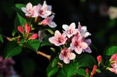 Amabilis van Kolkwitzia, gemeenschappelijke naam Beautybush Royalty-vrije Stock Afbeelding