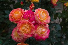 AMacro of fantastic colored roses in the spring garden stock photography