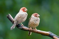 amadina erythrocephala finches głowiasta czerwień zdjęcia royalty free