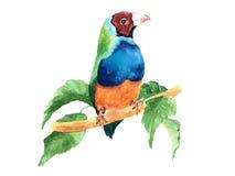 Amadina vattenfärg royaltyfri illustrationer