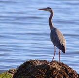 Amador azul da natureza da água dos animais selvagens do oceano dos pássaros Fotos de Stock