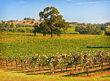 Amador County Vineyard, Californië Royalty-vrije Stock Fotografie