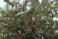 Amadureça bagas da cereja em uma árvore Foto de Stock
