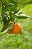 Amadureça a laranja suculenta no ramo Fotos de Stock Royalty Free