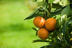 Amadureça a laranja suculenta no ramo Fotos de Stock